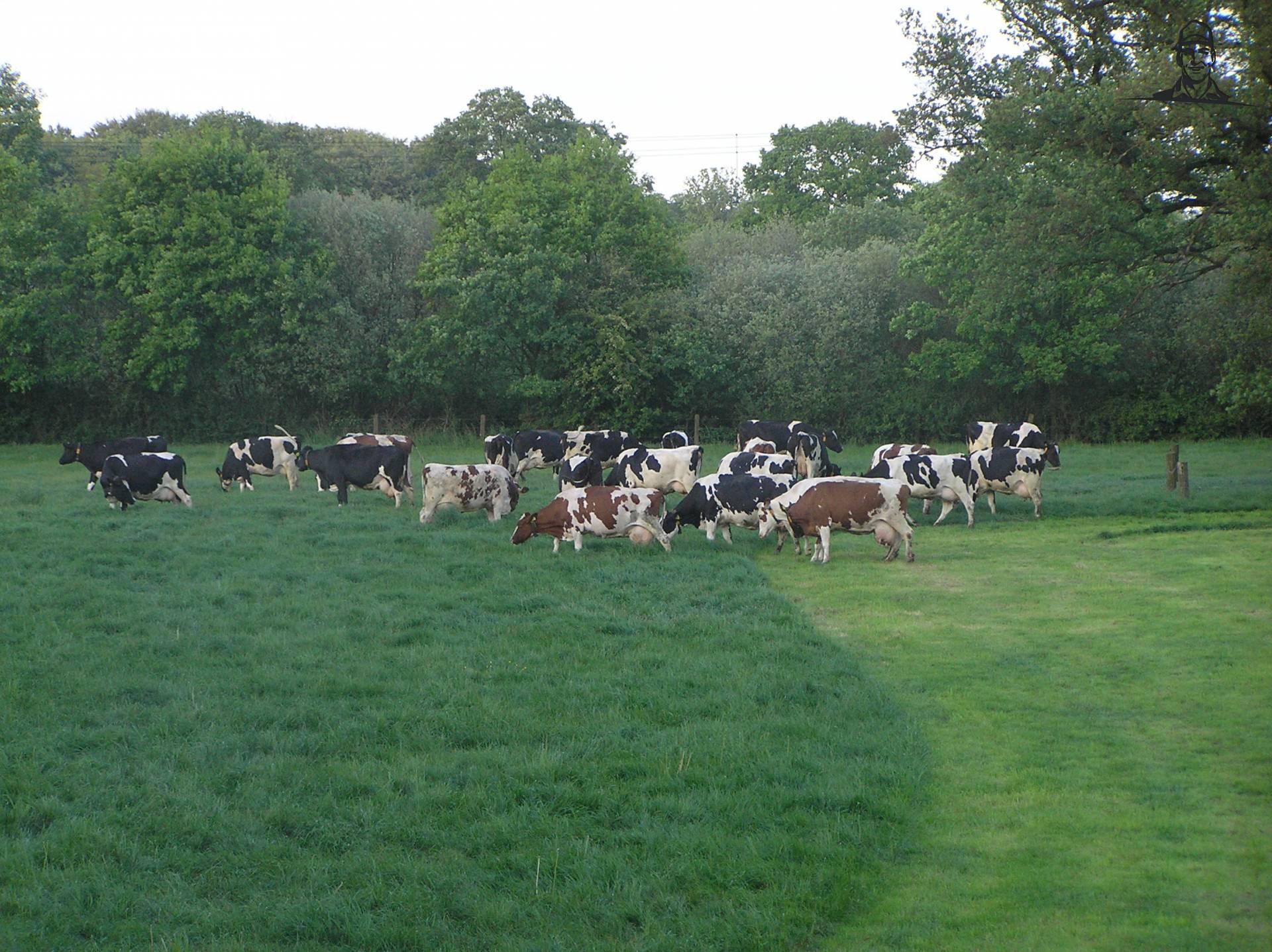 Koeien van MartijnH