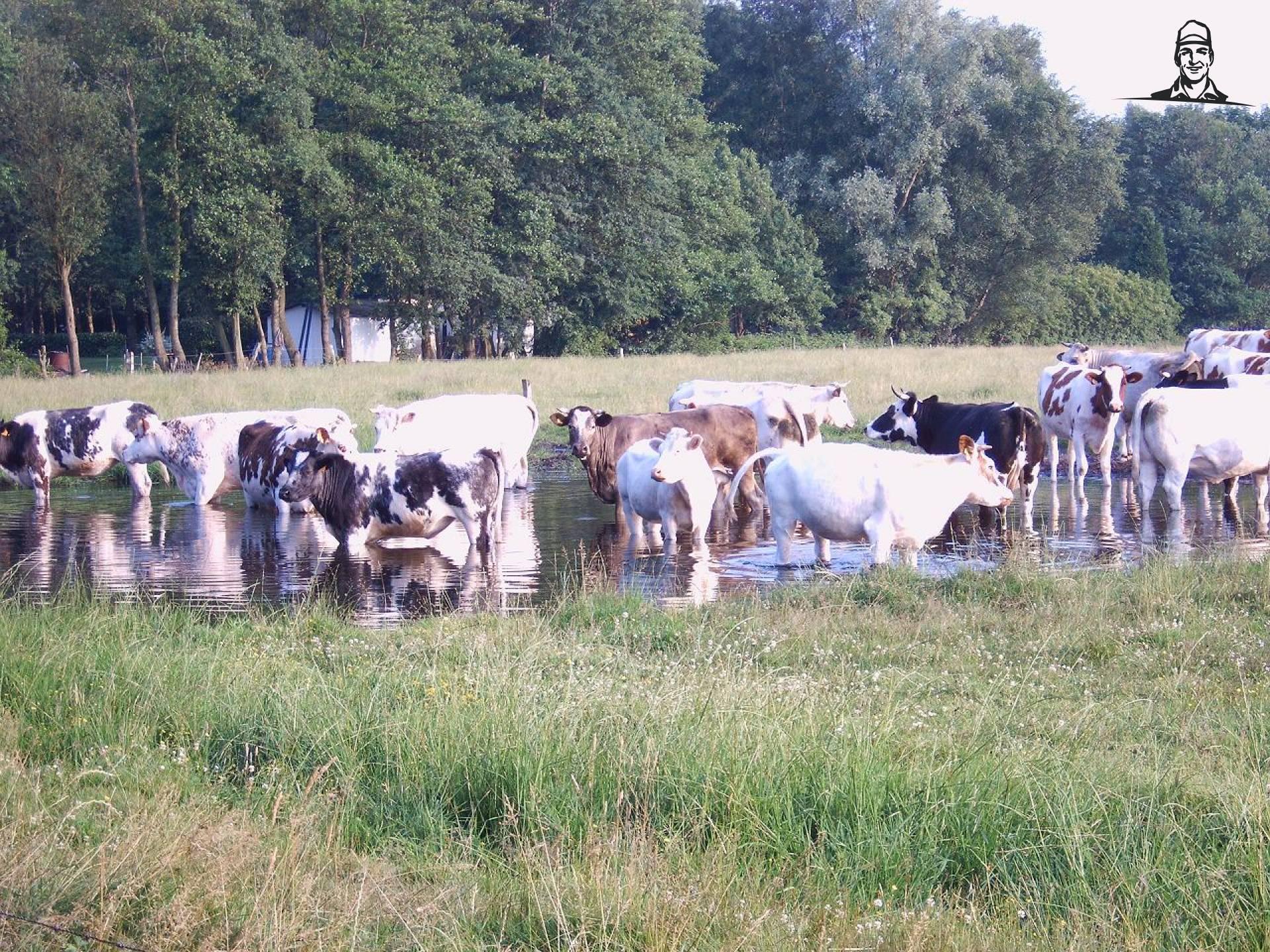 Koeien van stevenbrocatusnhjd