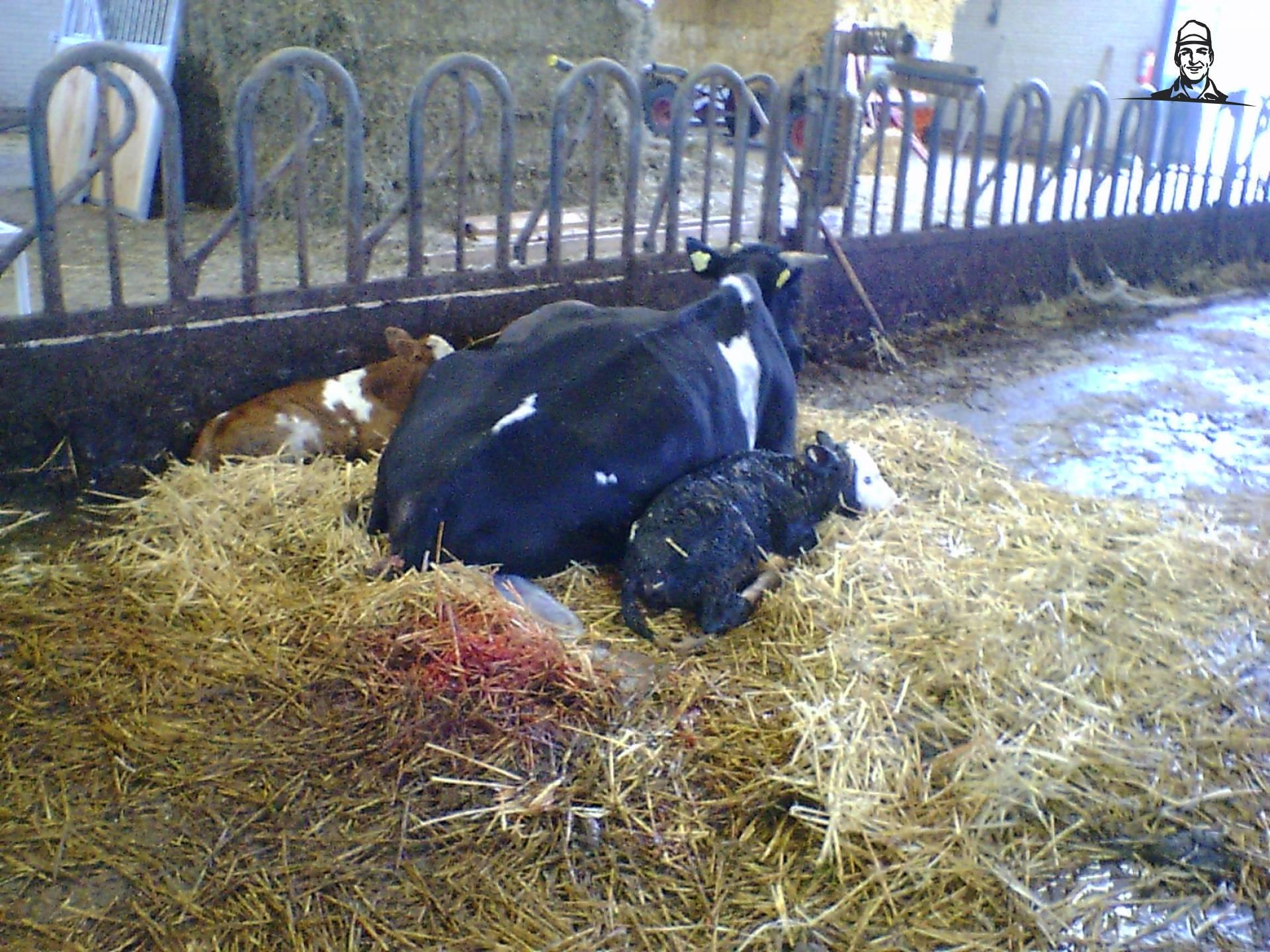 Koeien van Roy6220