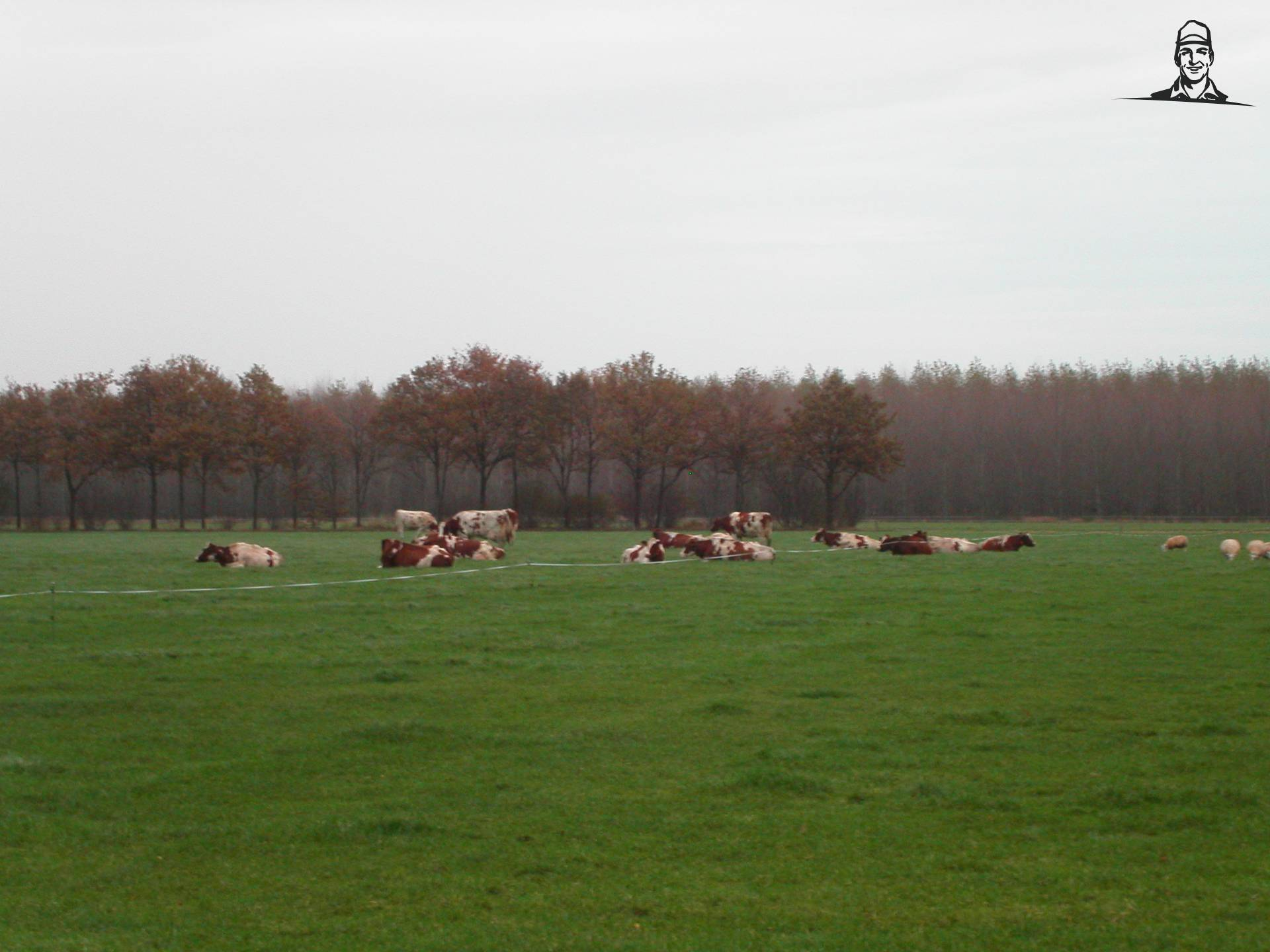 Koeien van Fiatman