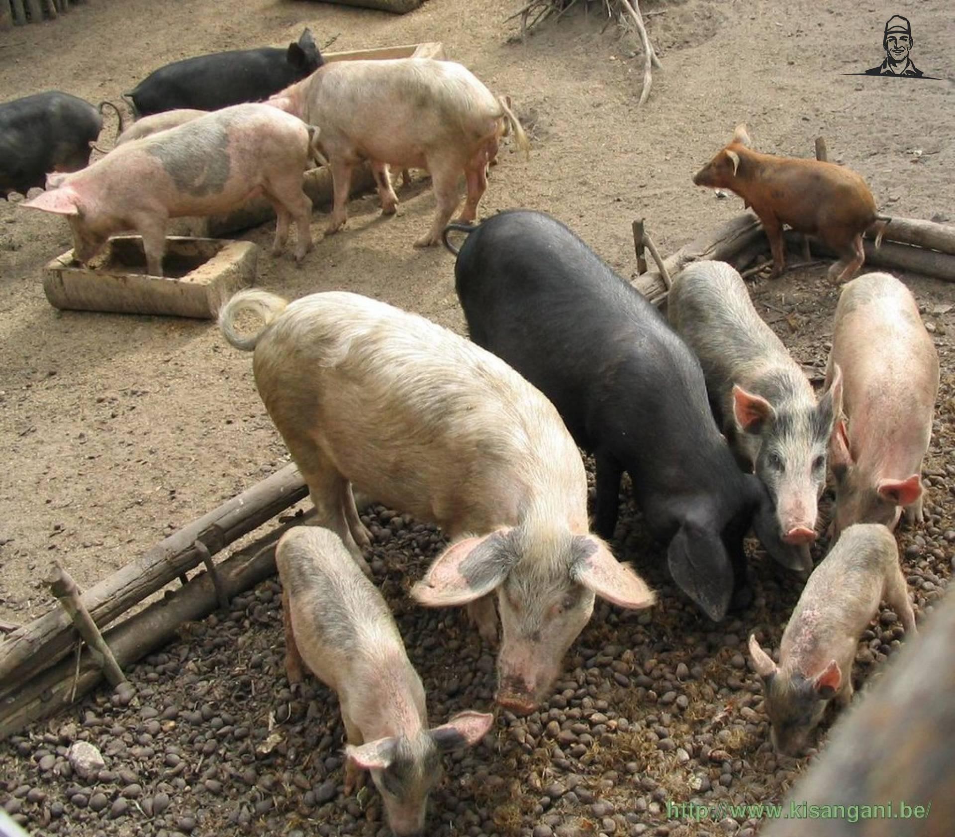 Varkens van michiel