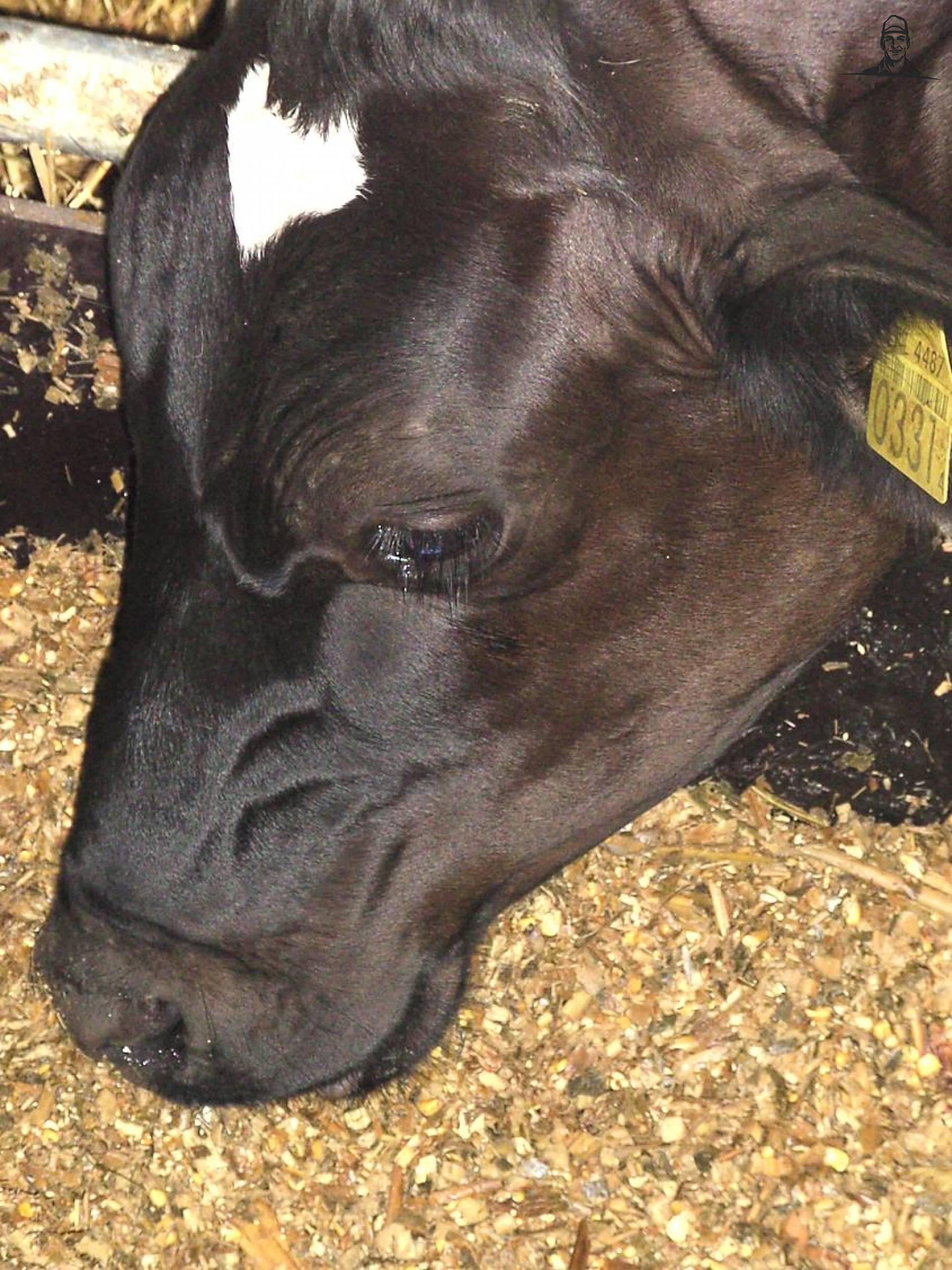 Koeien van SkarphofJDFan