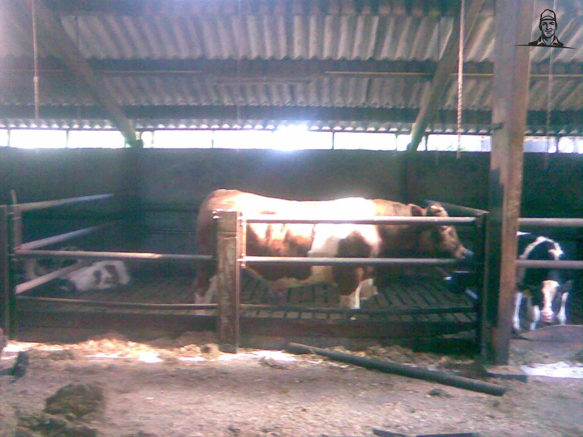 Koeien van wiegehts