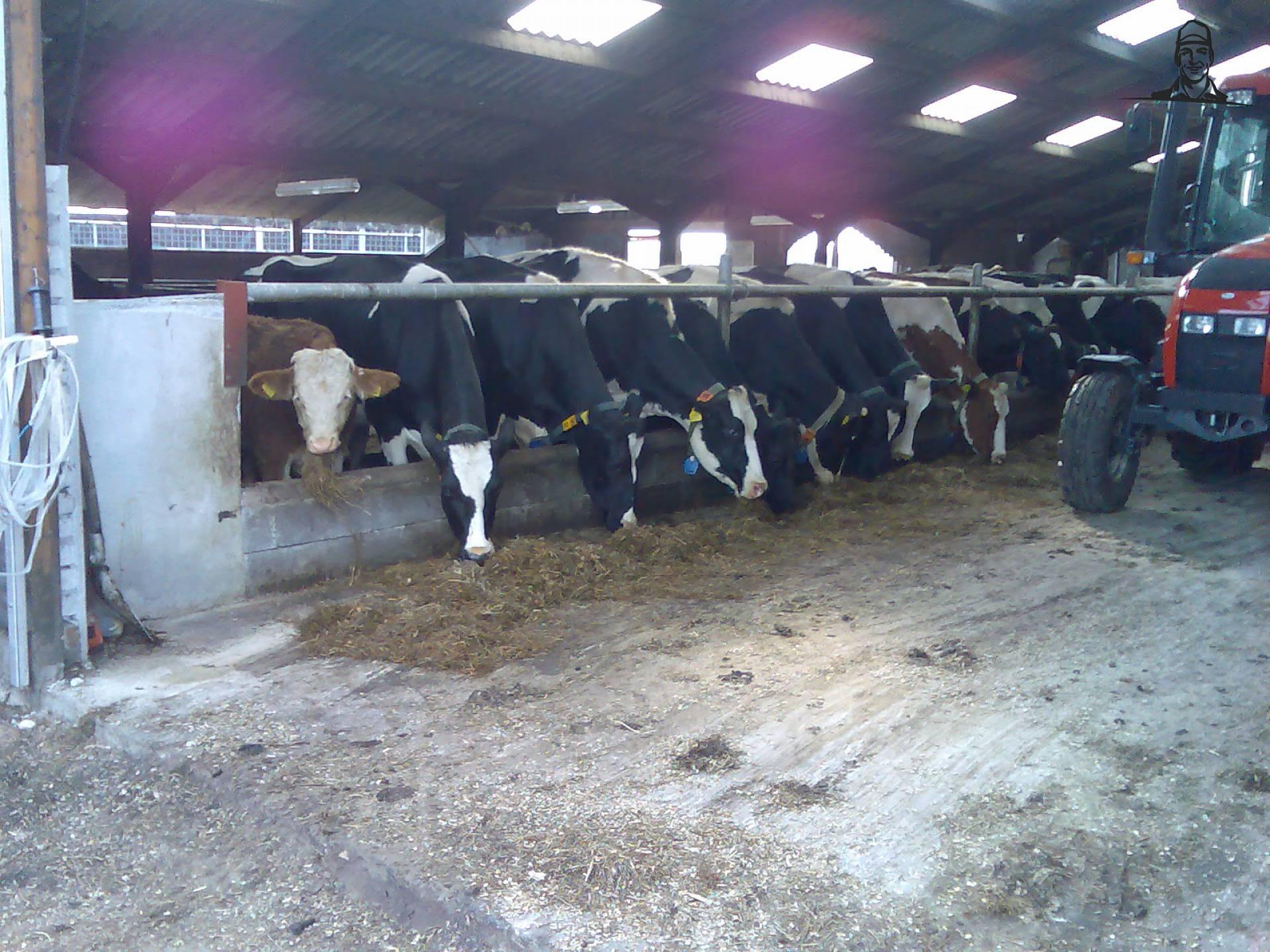 Koeien van stofwolk