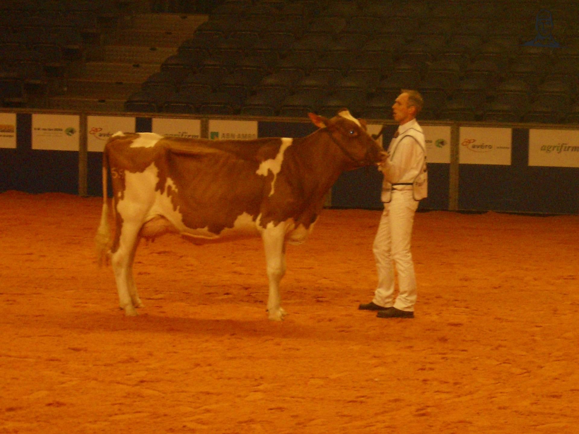 Koeien van Romke