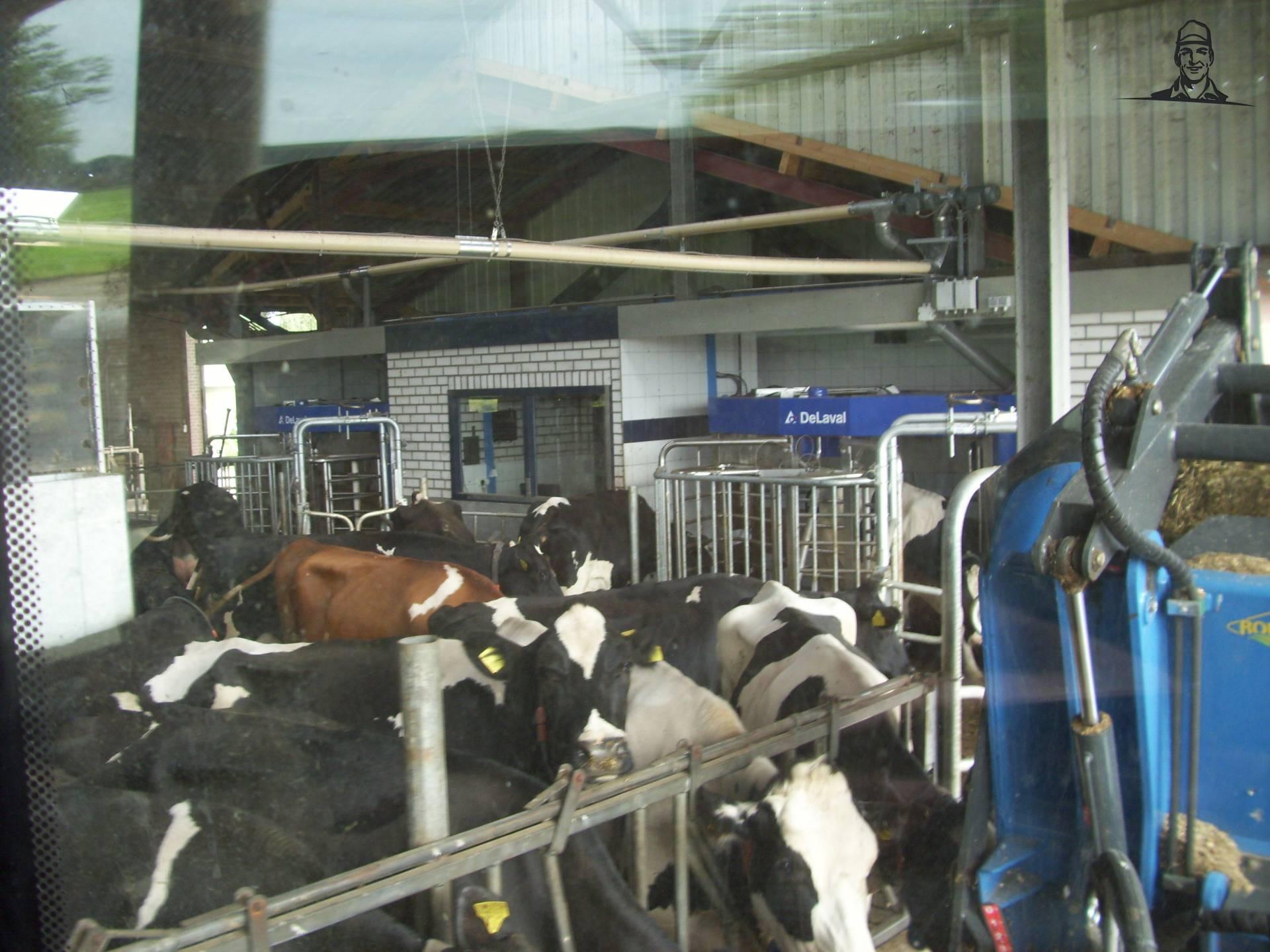 Koeien voeren van paultje