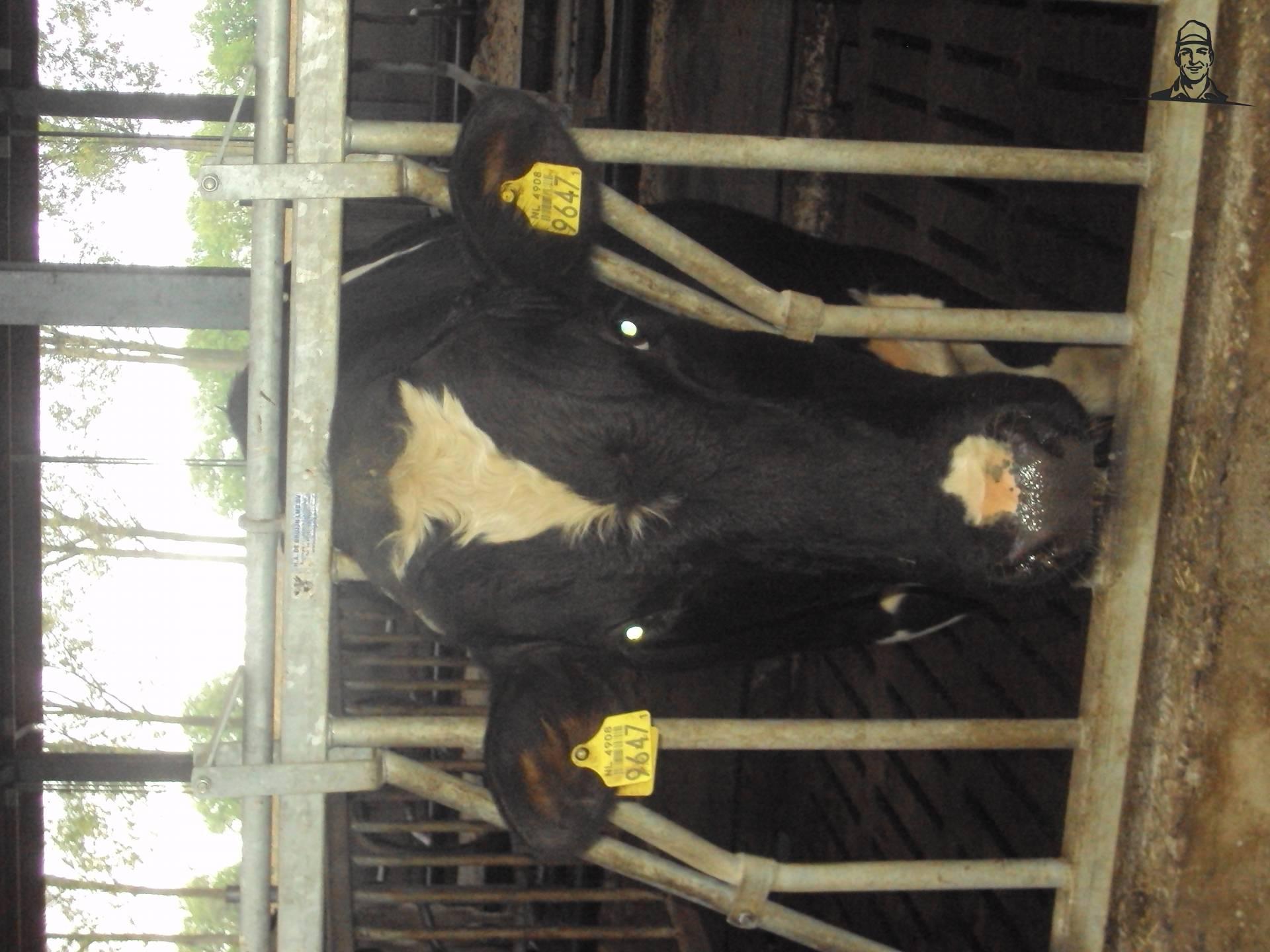 stier in de stal van bart H