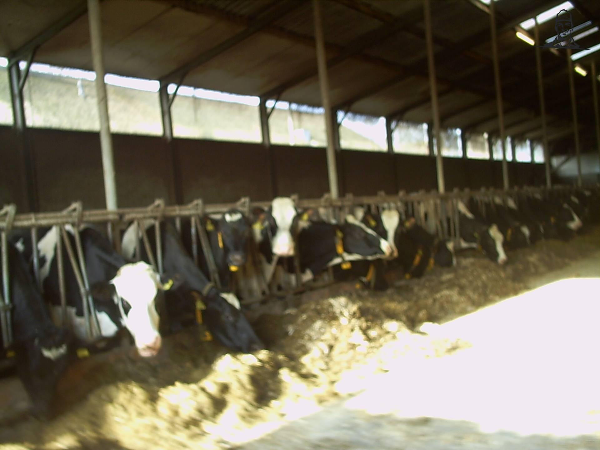 koeien van daan knol