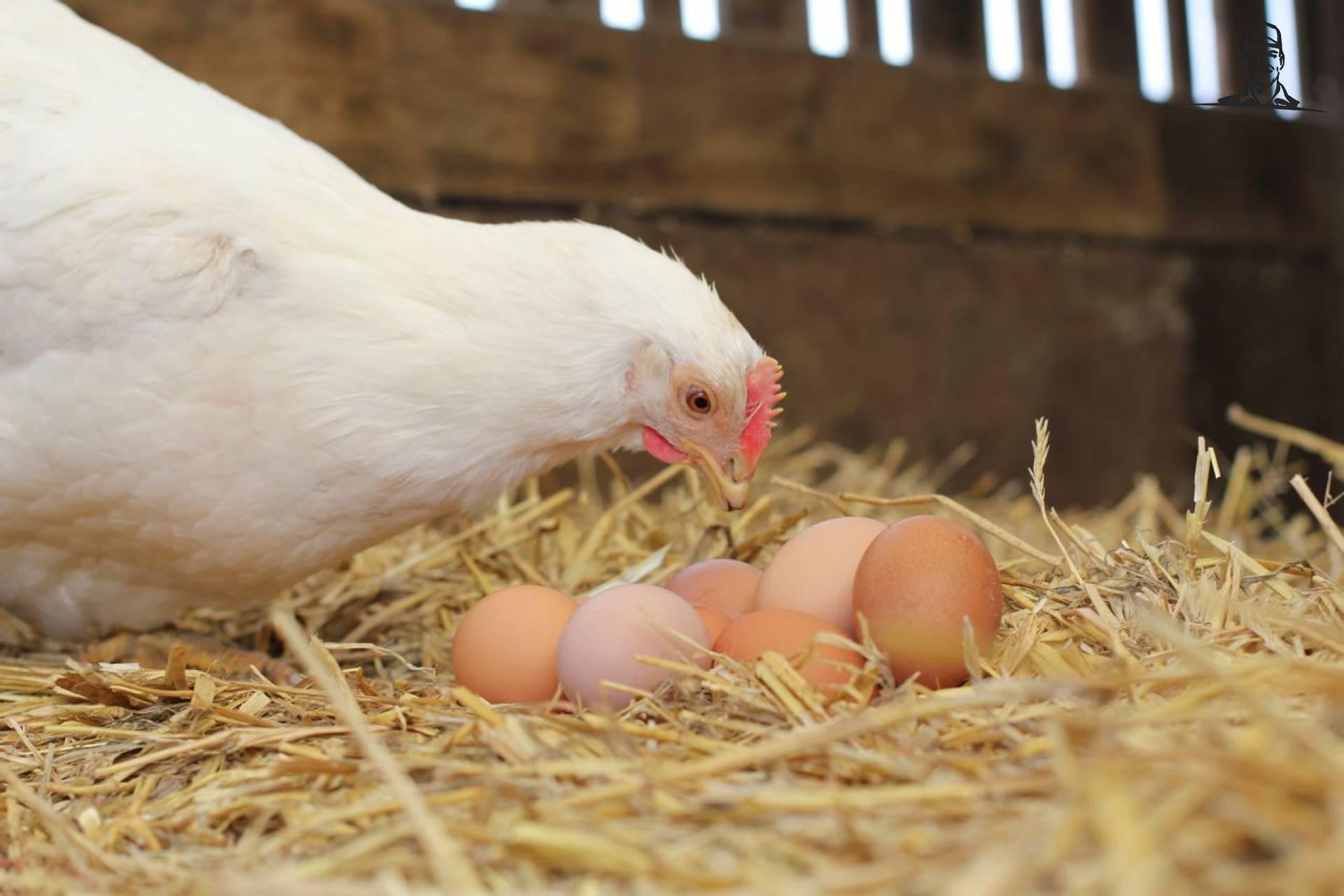 Kip met eieren van Tinus