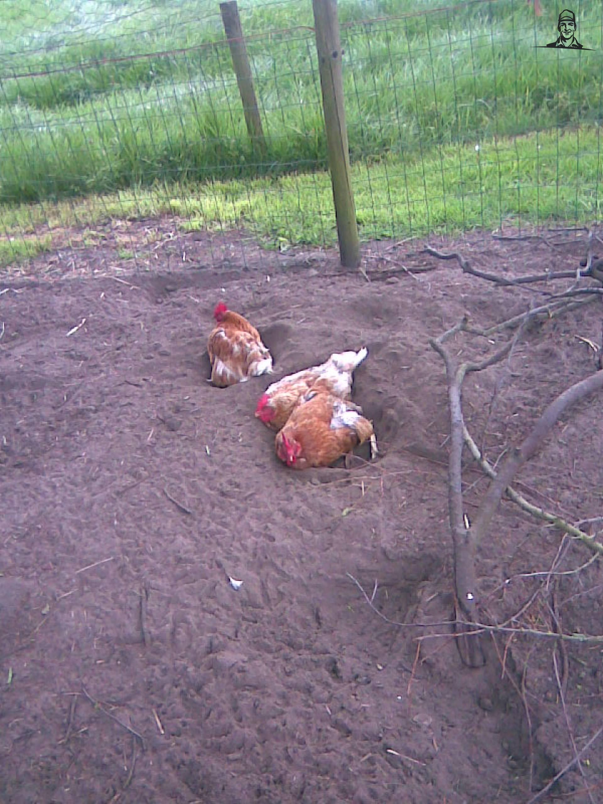 kippen van jesperFENDT