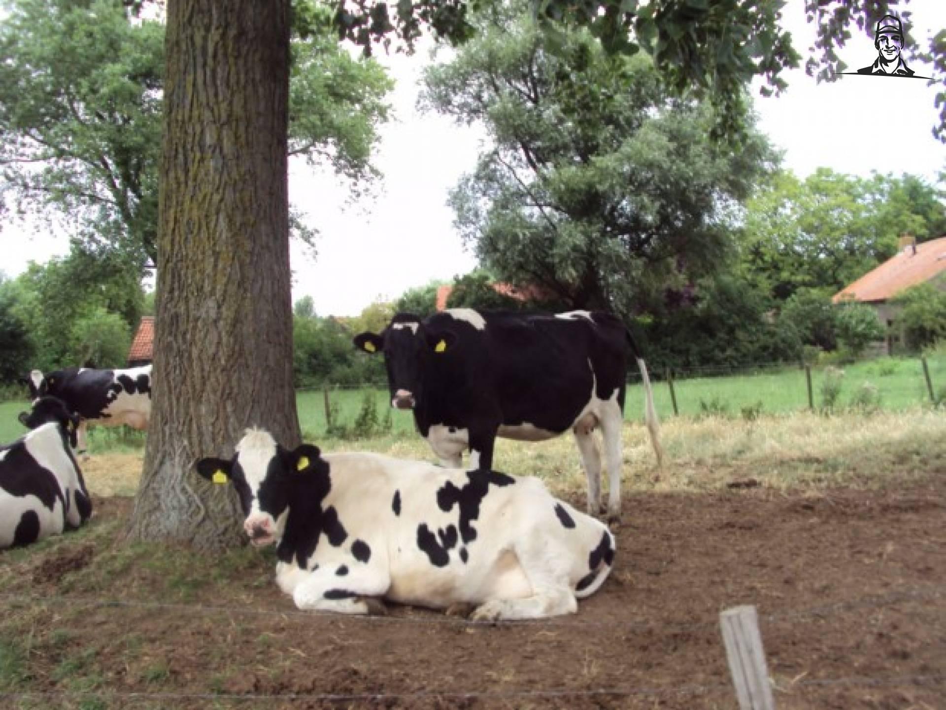 slapende koeien van bart H