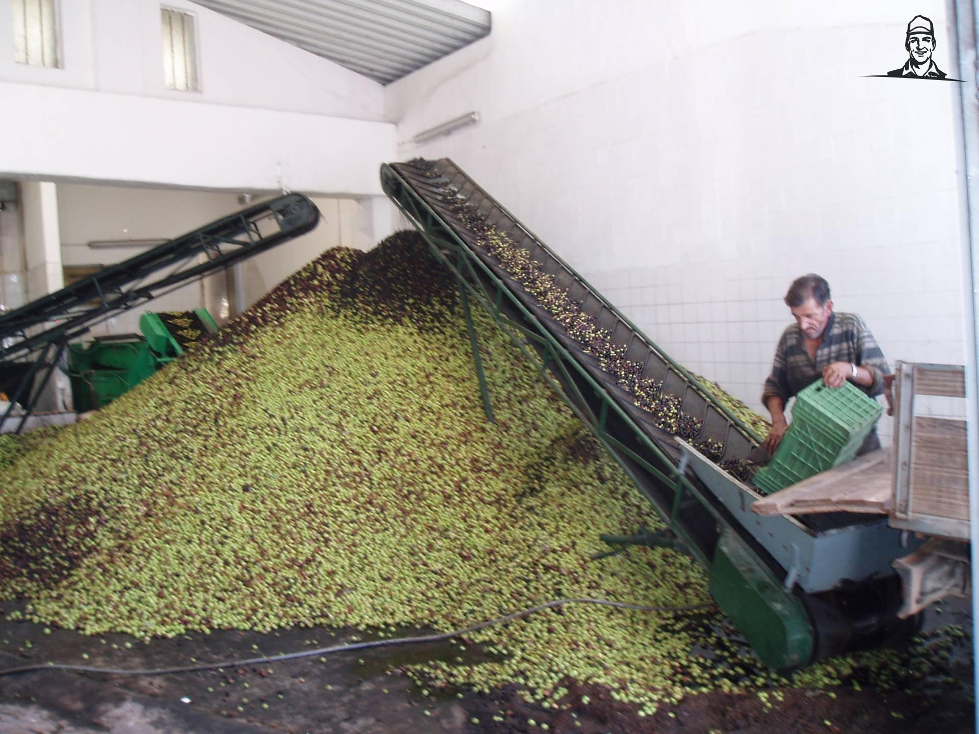 olijfolie maken van Hendrikus