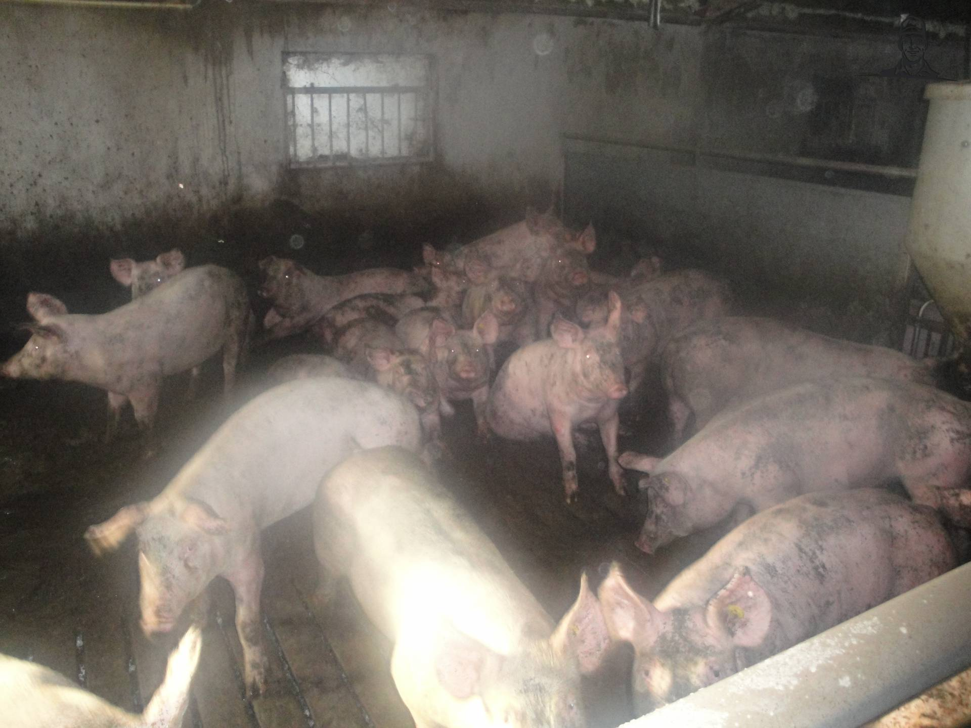varkens in hok van Robert97
