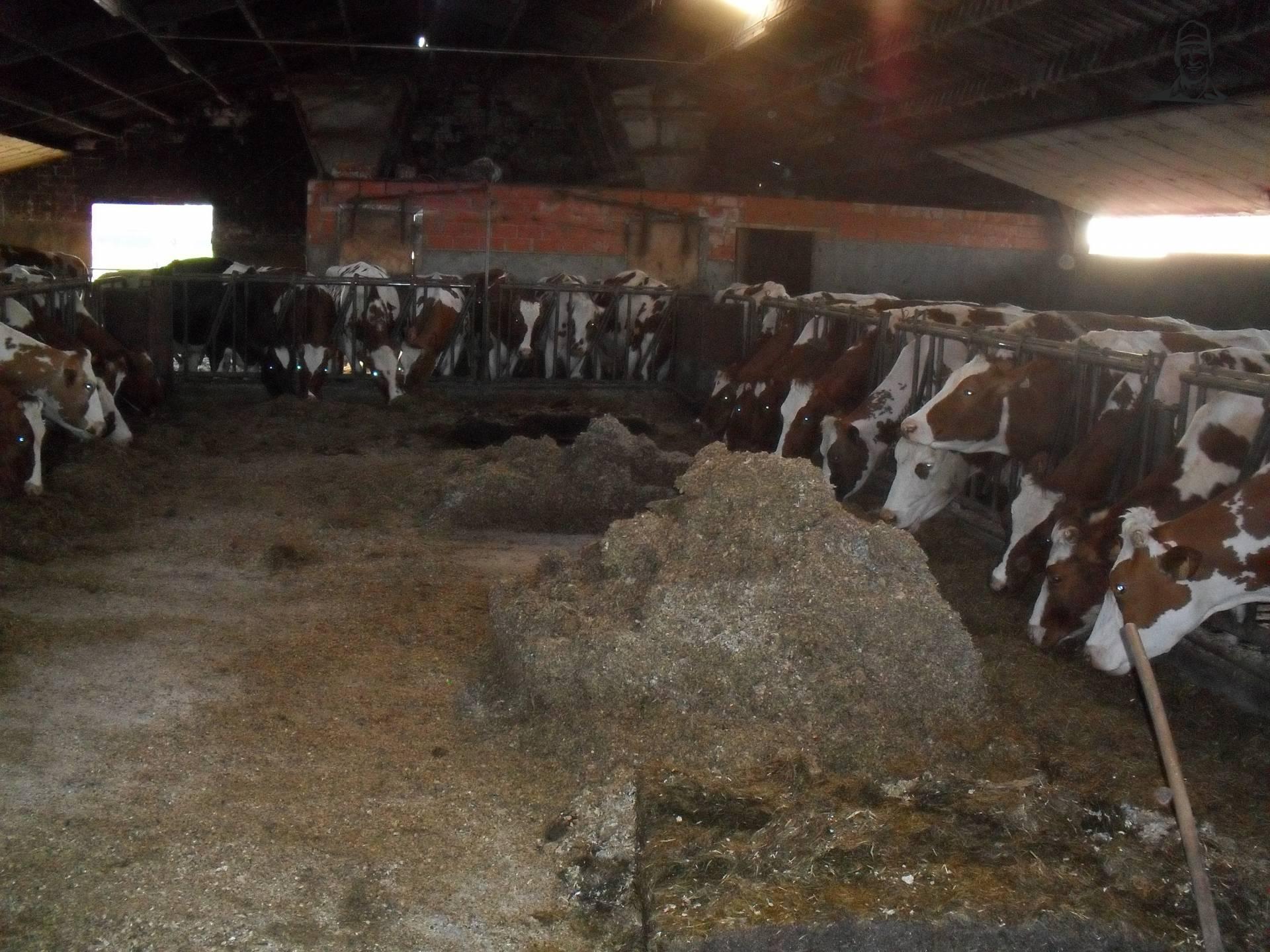 Koeien aan het genieten van hun maaltijd van BEboer