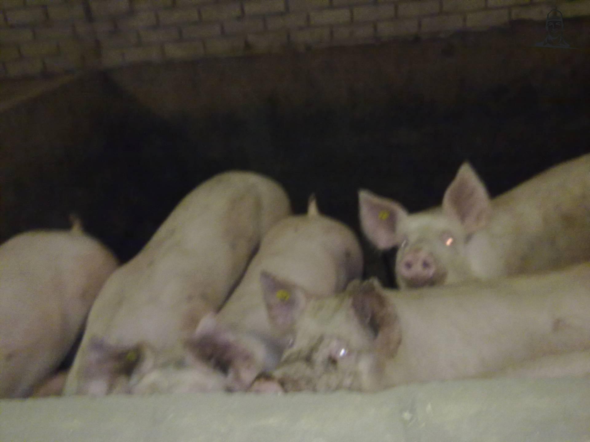varkens bij broek  van johndeere6910forever