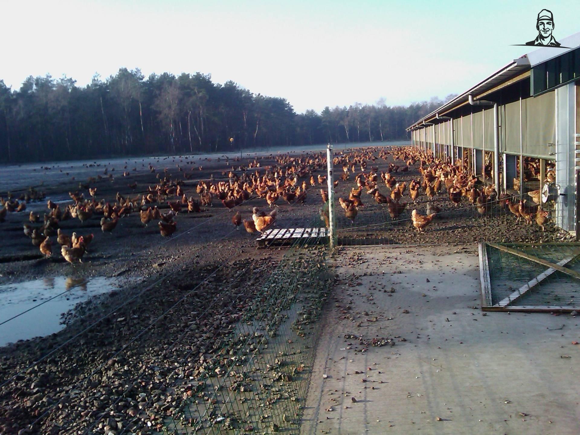 kippen van newholland6640