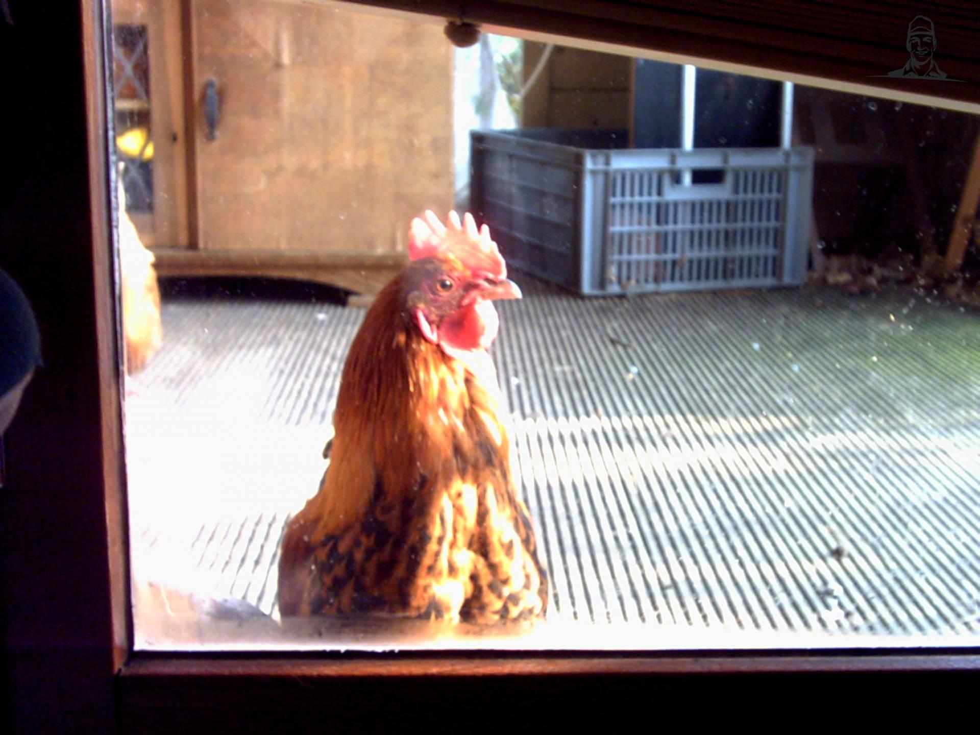 kippen van eddyscania