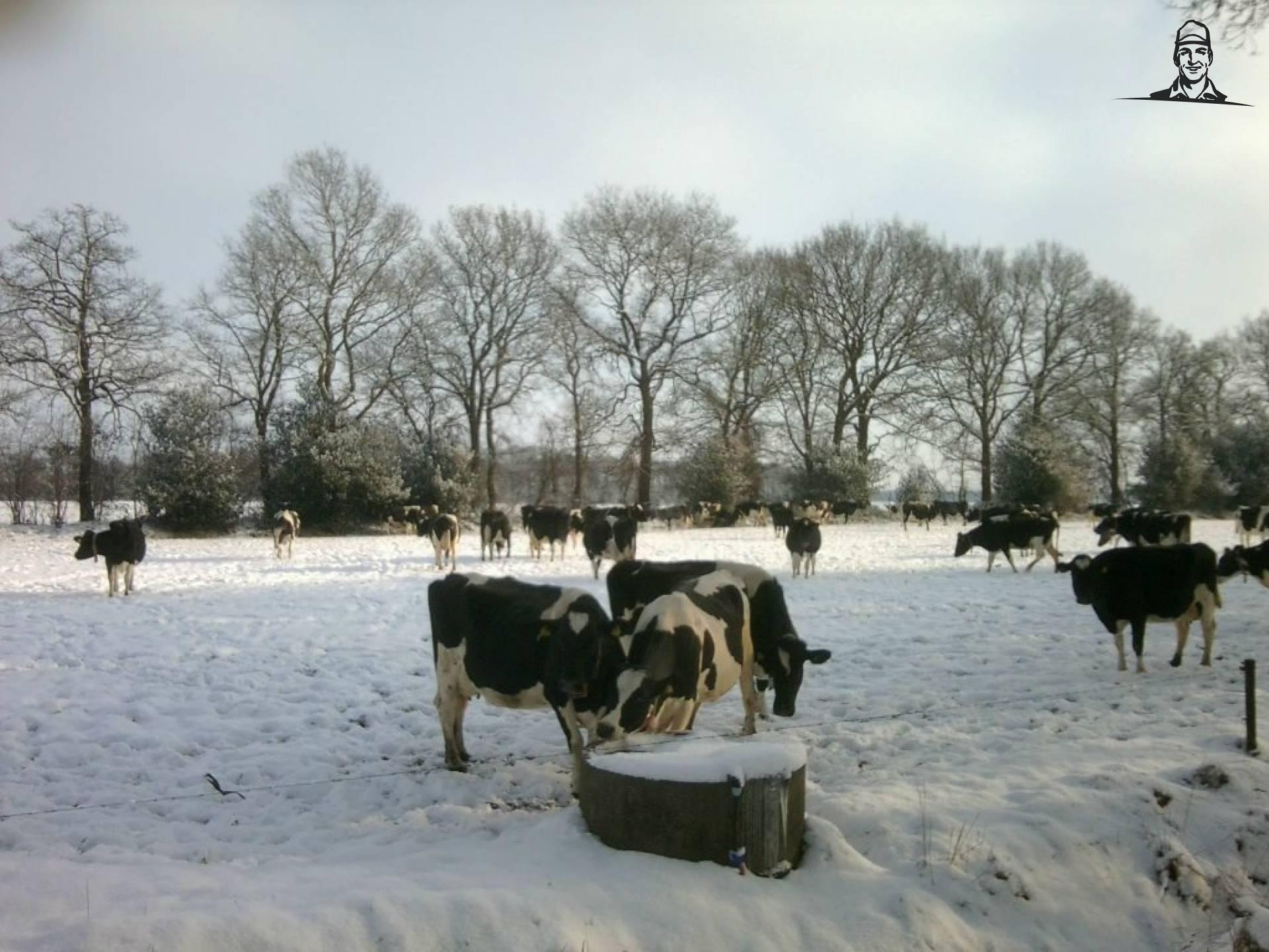 Koeien in de sneeuw 3-02-2012 van Koeienboer Jannes