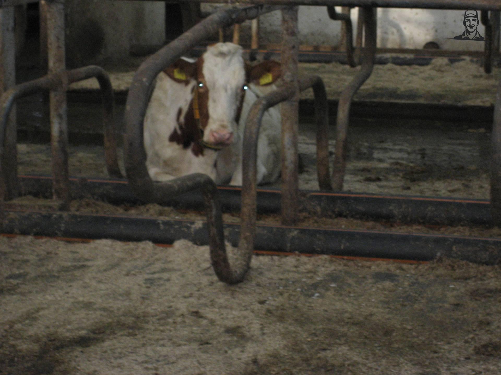 Koe van Valtraboerties
