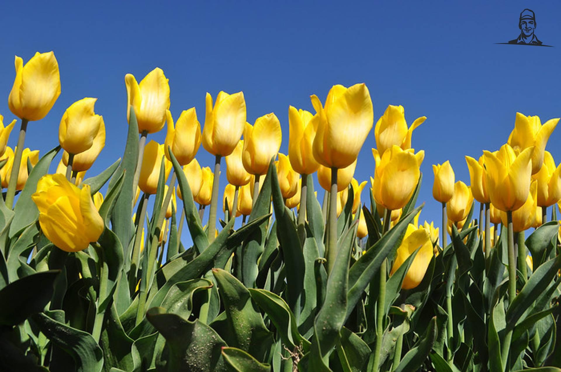 Tulpen van Johndeeretje