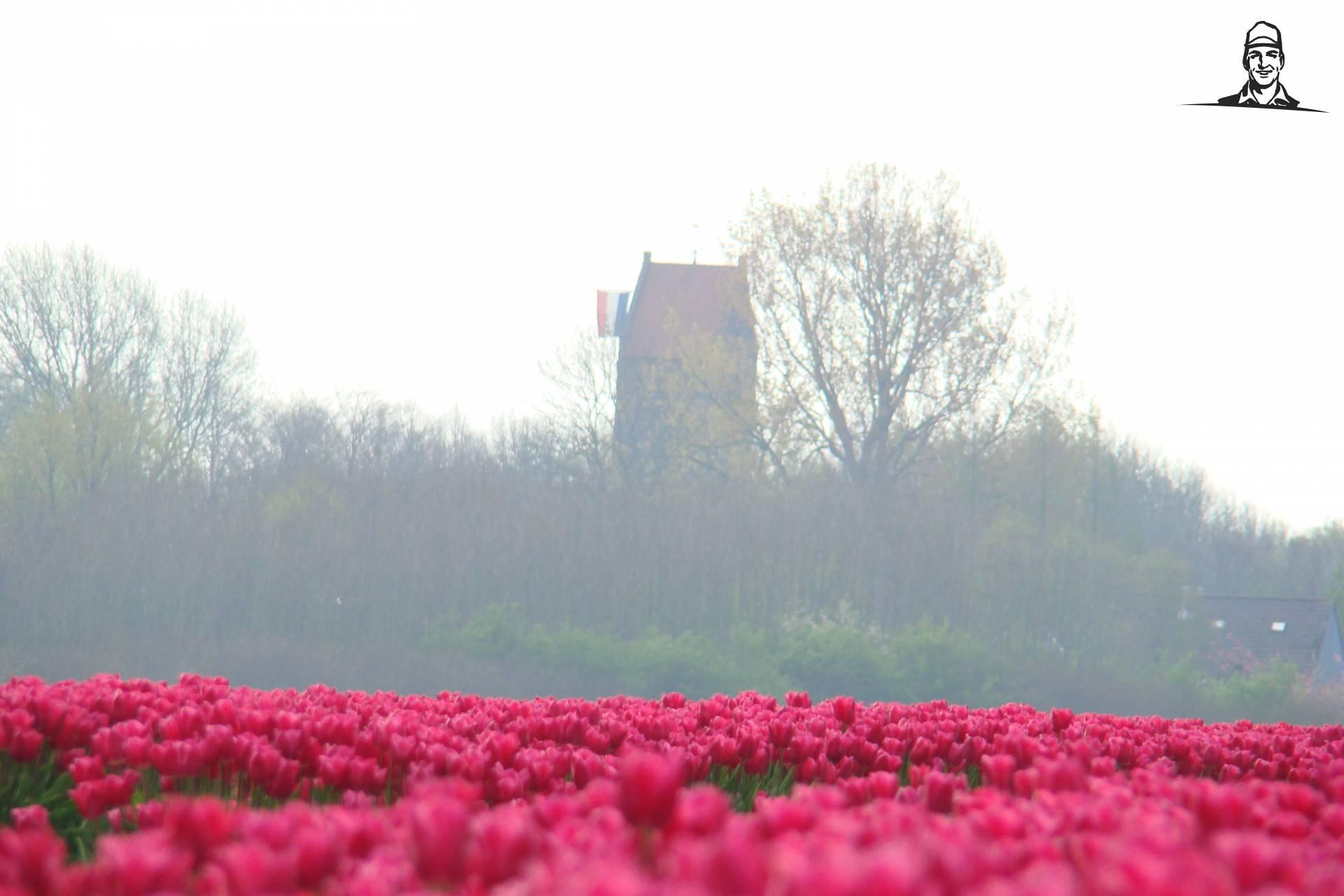 Tulpen op koninginnedag van Johndeeretje
