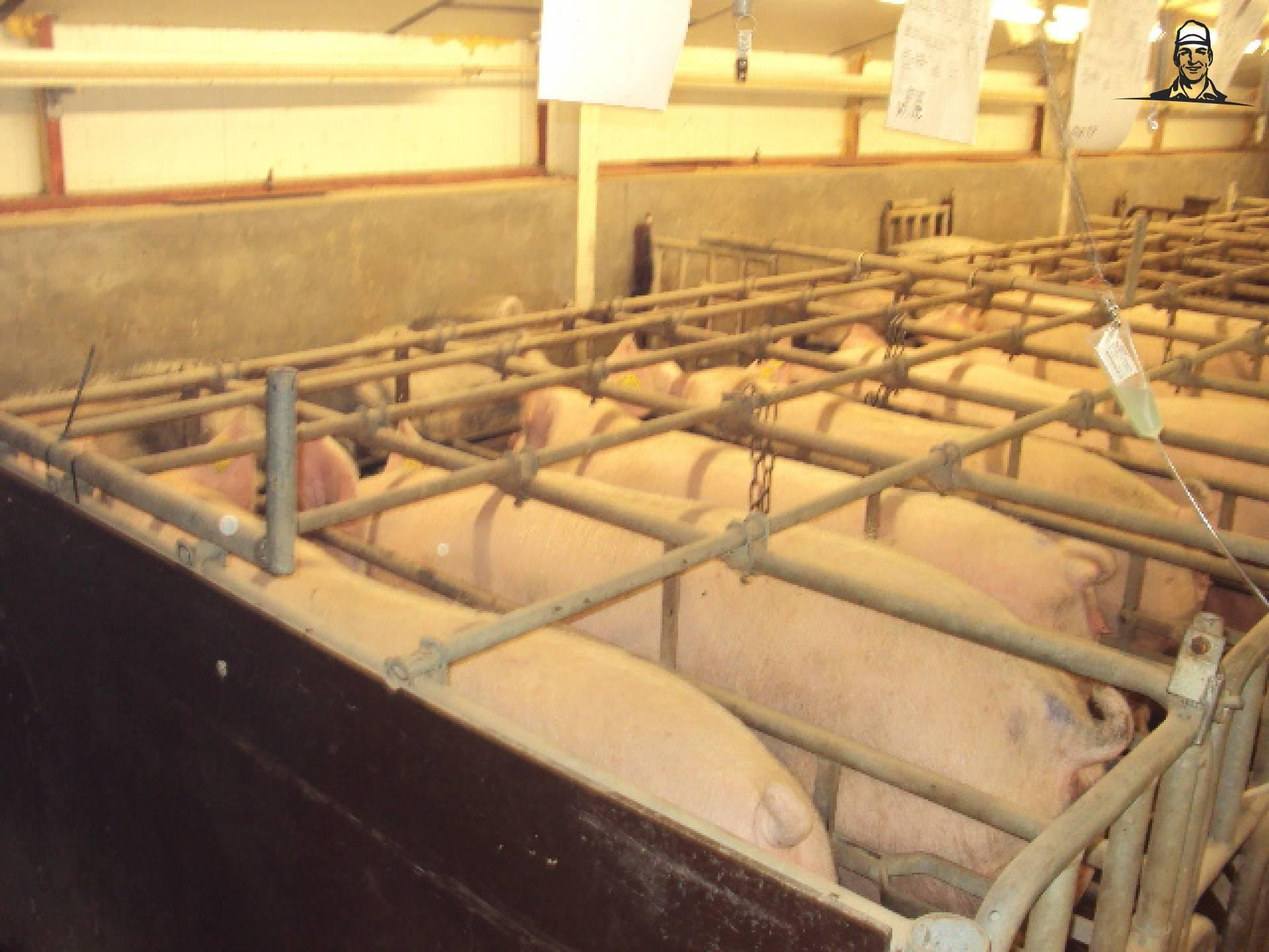varkens in hok van Bluetrekker