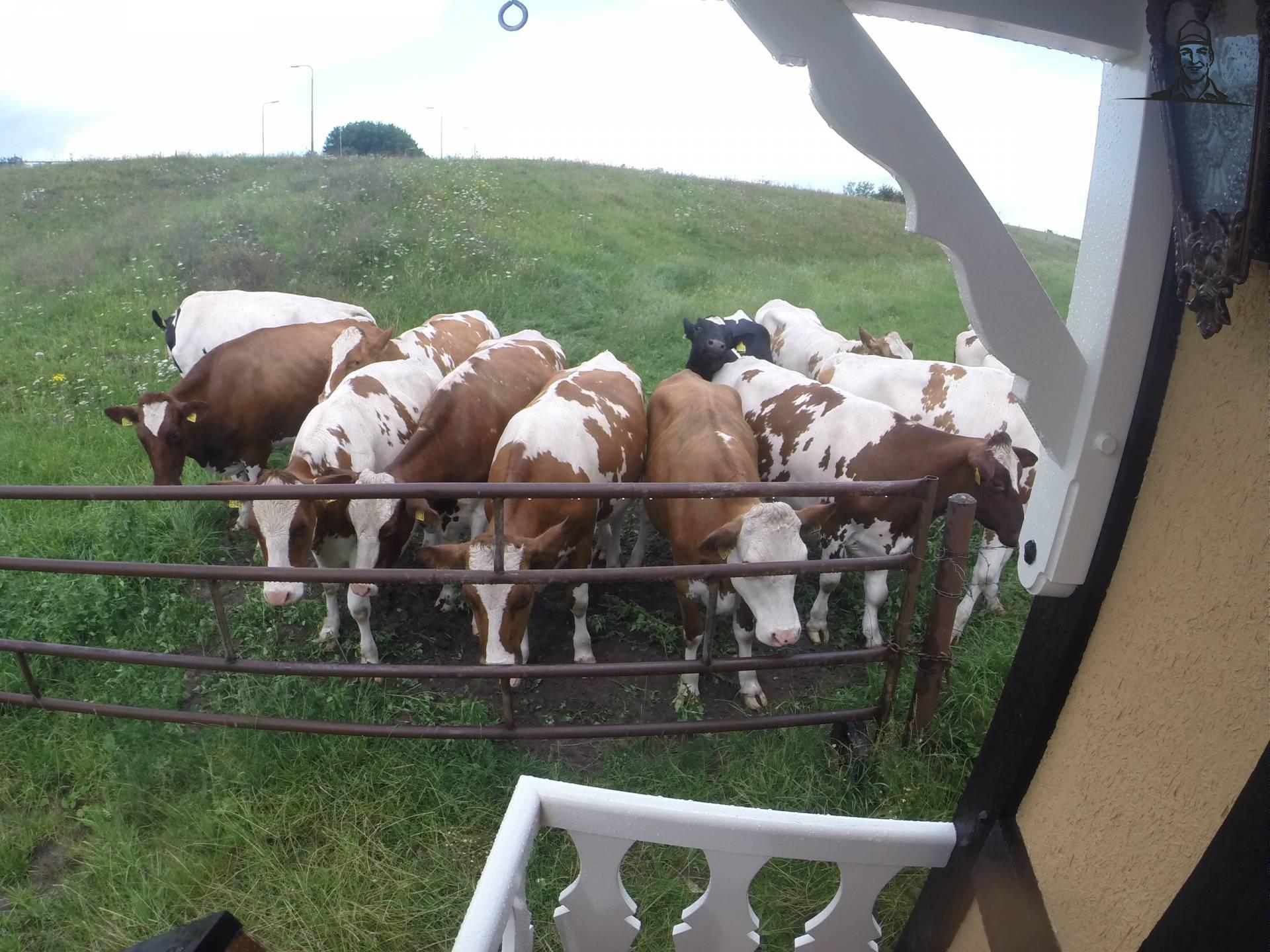 pipo koeien van roland koedam