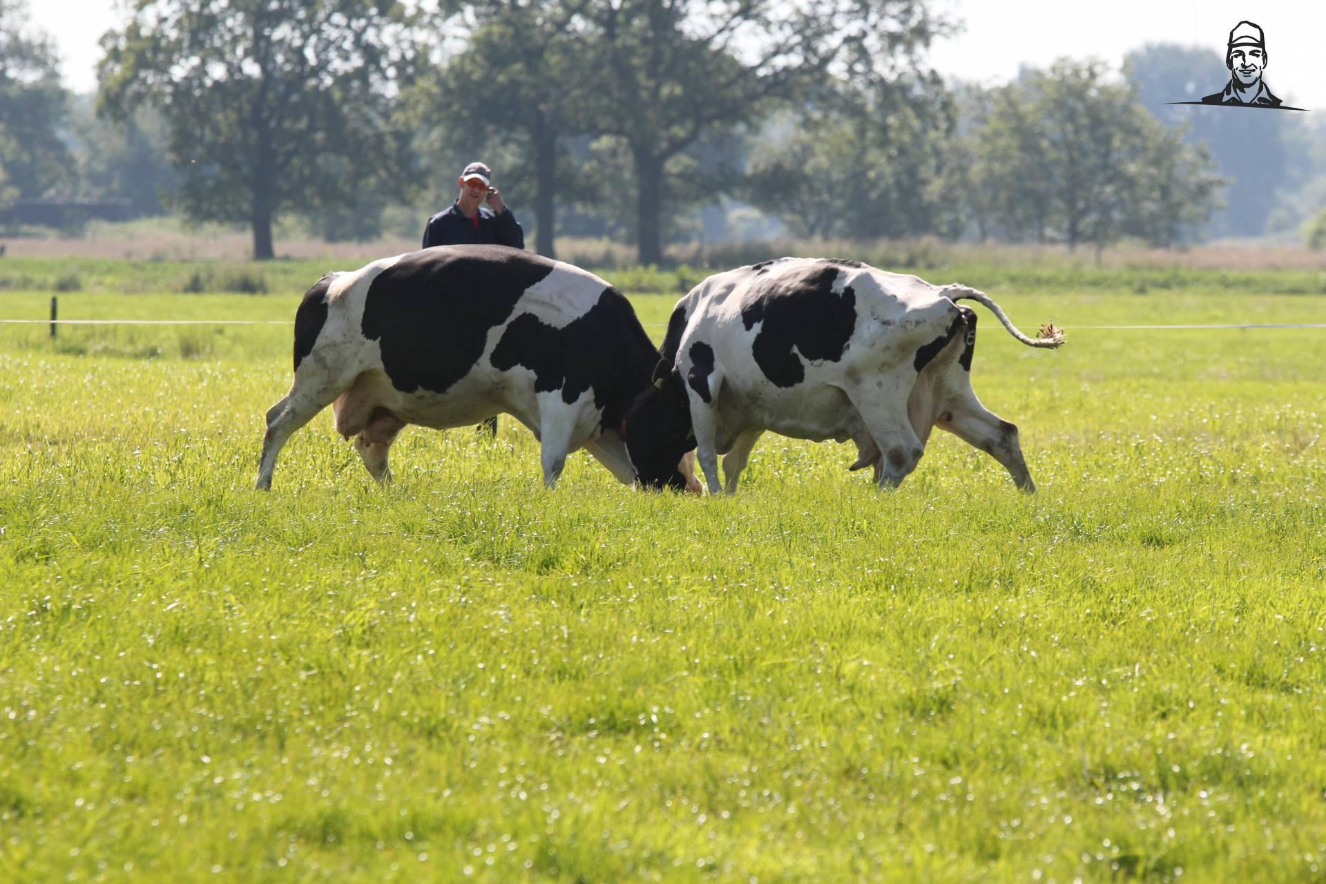 Stoeiende koeien van Tinus