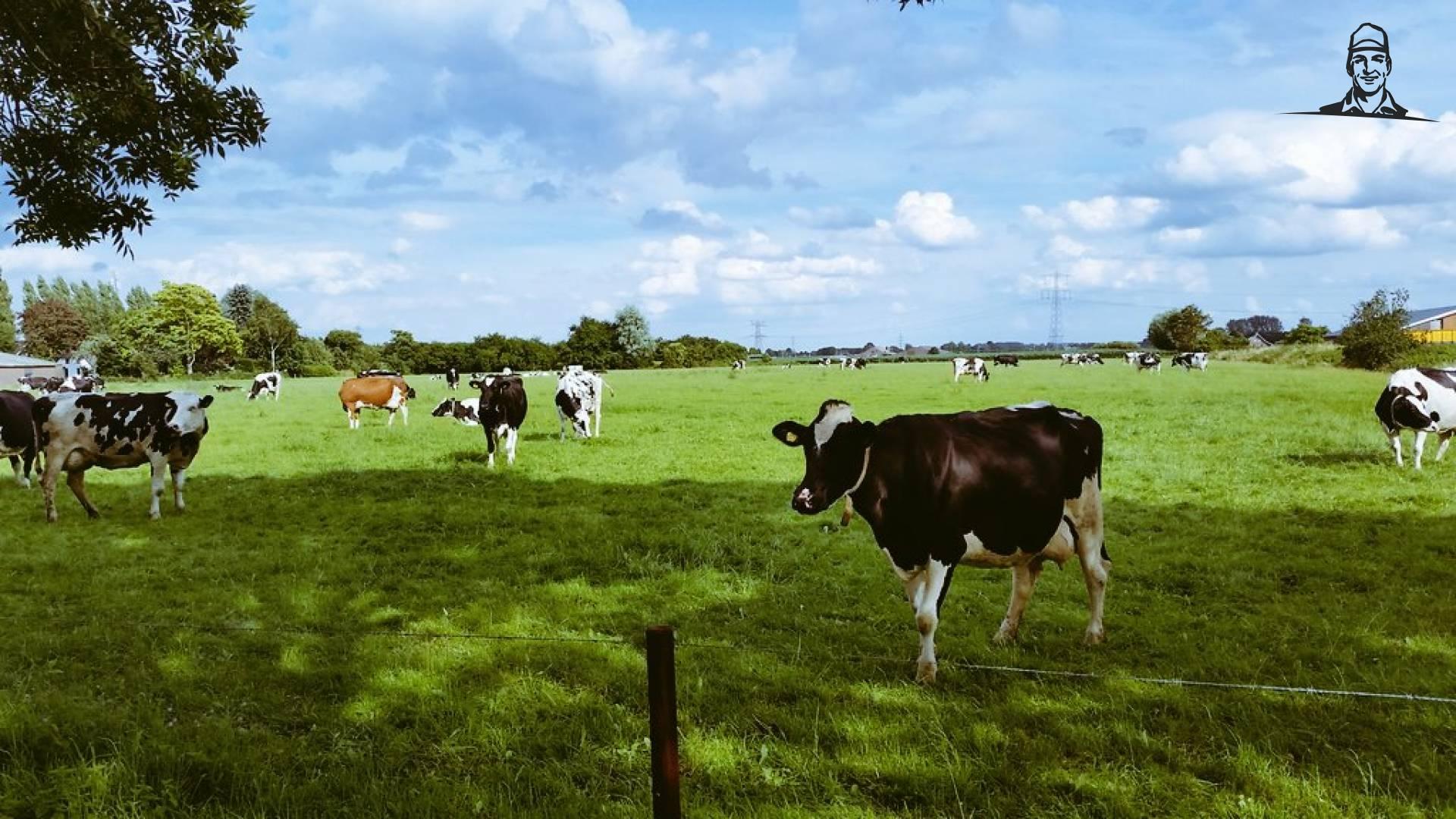 De dames koe zijn weer van de partij in 't weiland voor 't huis van Nieuwsgrazer