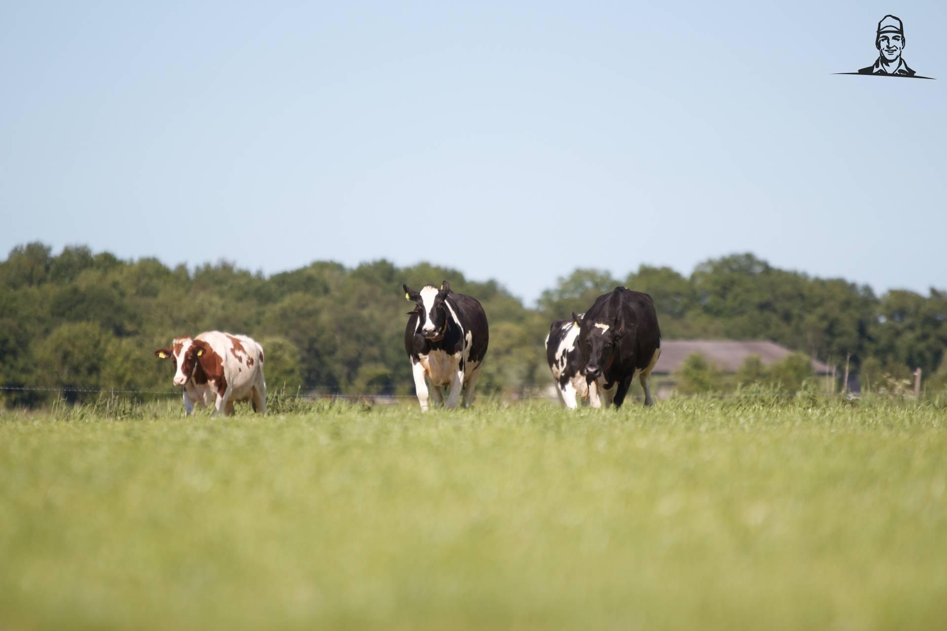 Koeien buiten (2014) van Tinus