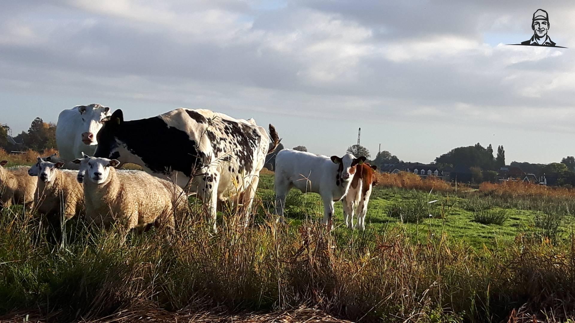 koeien, schapen en kalveren op het vaarland van jippe
