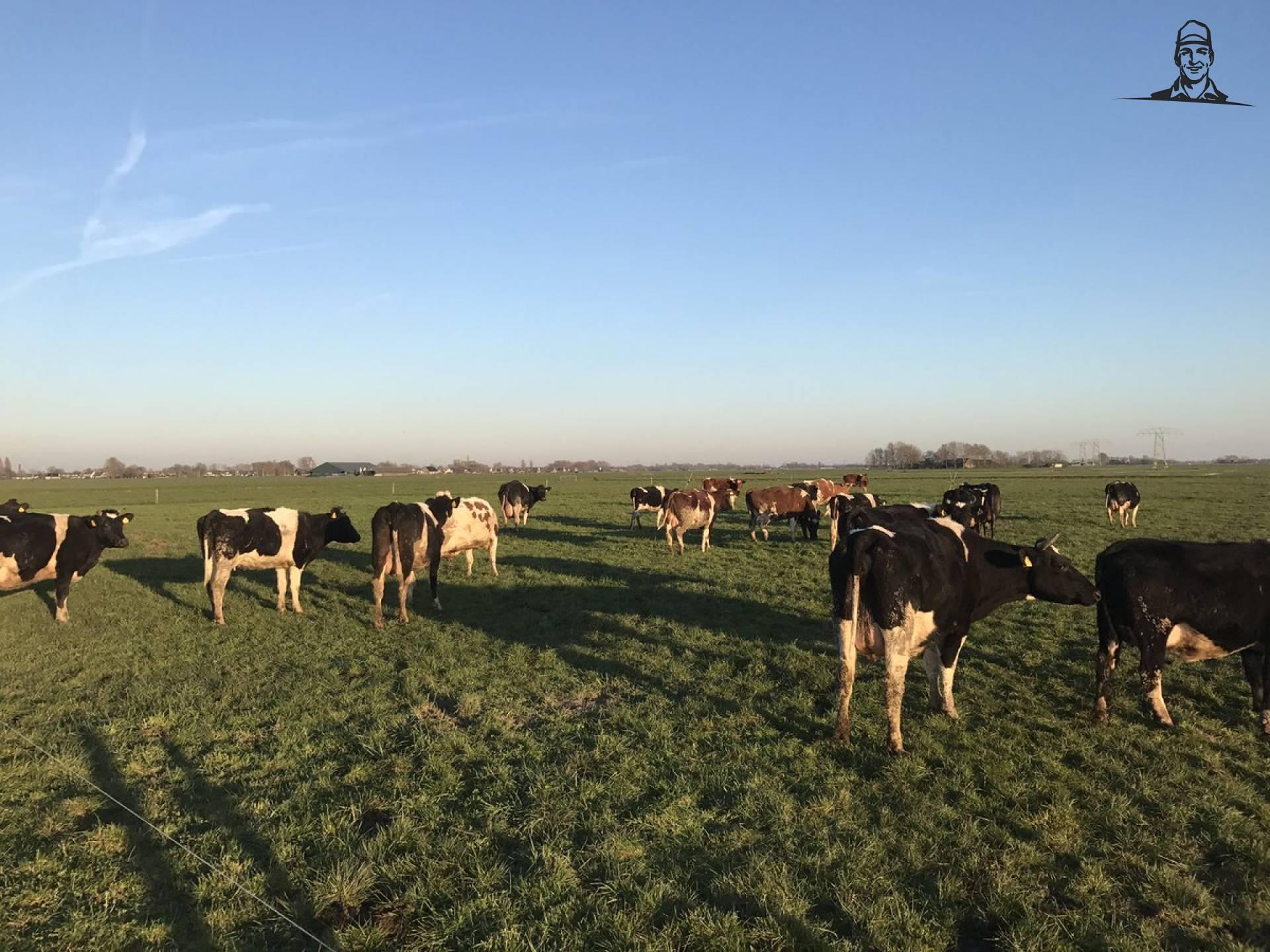 Dag en nacht weidegang voor de melkkkoeien, veel gras op voorraad van Nieuwsgrazer