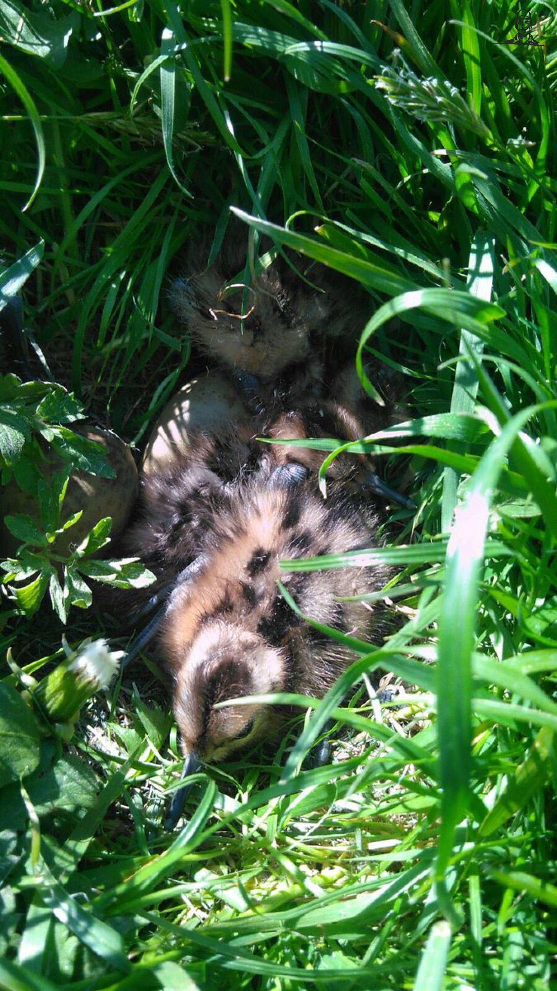 Vandaag meerdere grutto kuikens gezien die nog in het nest lagen van Nieuwsgrazer