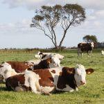 koeien in de weide.
