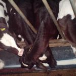 kalvjes melk geven