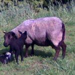 schaap met lammers 2009