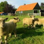 Kruislingen - Swifter / Hampshire Down