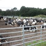 koeien liggen mooi buiten, te genieten