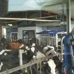 Koeien voeren