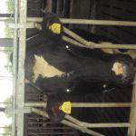 stier in de stal
