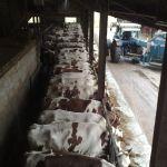 de melkkoeienstal