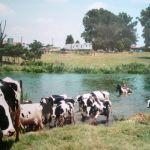 effe koeien op halen