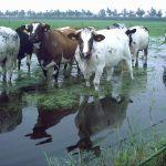 Koeien met de voetjes in het water