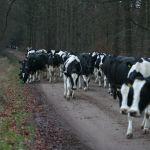 koeien over plaatsen