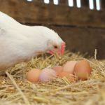 Kip met eieren