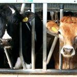 Holstein / Jersey