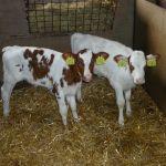 Tweeling van onze100.000liter koe