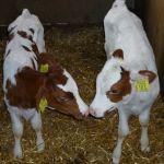 Tweeling dochters van onze 100.000 liter koe