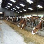 Onze koeienstal