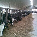 pinken en droge koeien